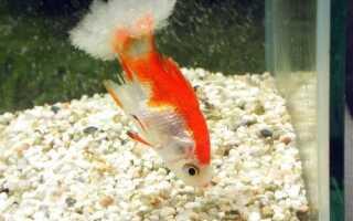 Дерматомикоз у рыб симптомы и лечение