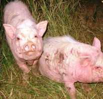 Чем лечить у свиней чесотку