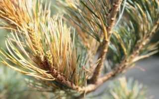 Чем лечить хвойные растения