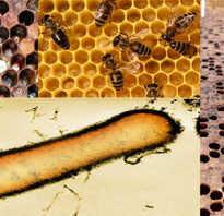 Гнилец пчел чем лечить