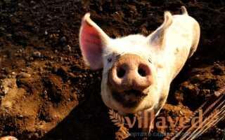 Запор у свиней симптомы и лечение