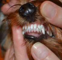 Клыки у йорка лечение