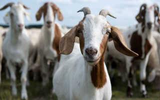 Аллергия у коз симптомы лечение