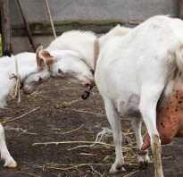 Мастит лечение у козы