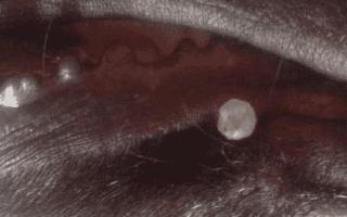 Прыщи на морде у мопса причина лечение