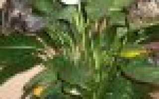 У спатифиллума желтеют листья причина и лечение