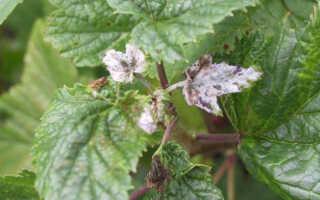 Чем лечить смородину от мучнистой росы