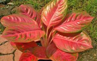 Аглаонема желтеют листья причина и лечение